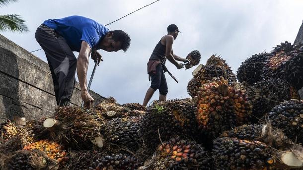 Pekerja di Indonesia: Kelapa sawit adalah salah satu sumber pendapatan terpenting di negara ini.  (Sumber: Gambar Imago / Kawat Zuma)