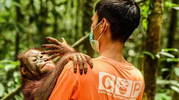 Penyelamat Bayi Orangutan: Orangutan Burnie dianggap dalam bahaya besar.  (Sumber: Gambar Imago / Zuma Press)