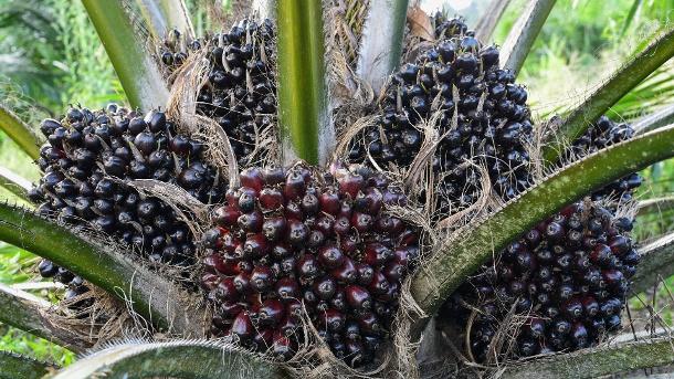 Minyak buah sawit: Minyak sawit dibuat dari pulp, dan minyak inti sawit dibuat dari biji-bijian - kedua jenis minyak tersebut digunakan dalam berbagai cara.  (Sumber: imago images/agefotostock)