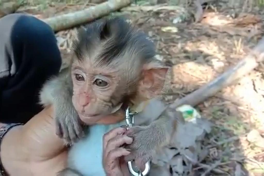 Monyet disiksa secara brutal - pembenci hewan membayarnya