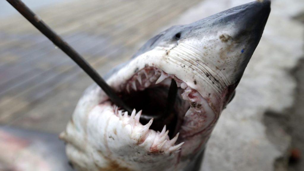 WWF: Uni Eropa adalah pusat perdagangan hiu