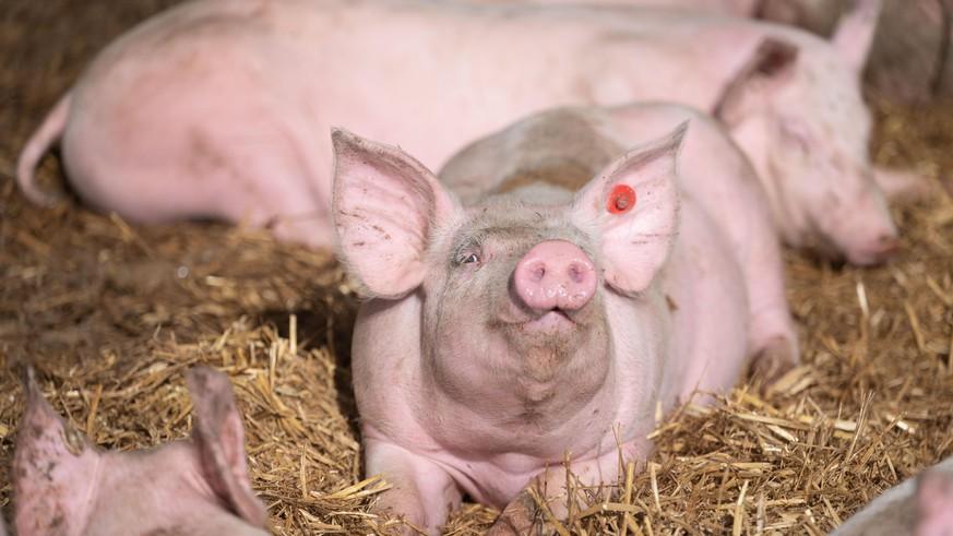 Mengapa peternak babi tidak lagi menyingkirkan hewannya?